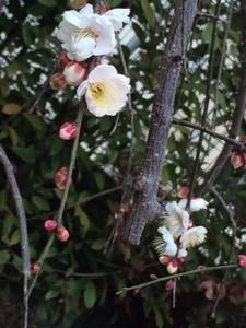 梅の花0209