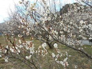 1016梅の花1